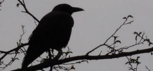 cropped-cropped-cropped-cropped-raven12.jpg