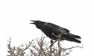 _DSC0185 (Common Raven)